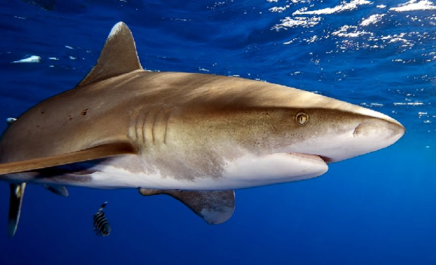 U Jadranskom moru ulovljen morski pas koji može narasti do 4 metra