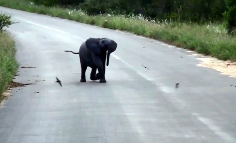 Mali slonić se igra ganjajući ptice