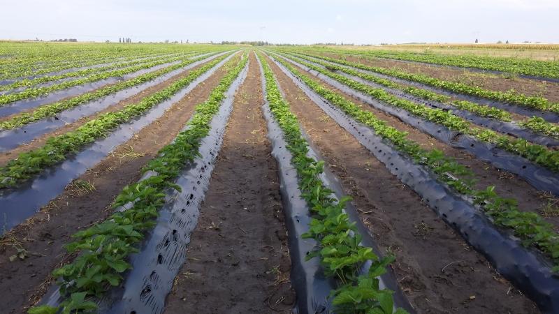 Odabir parcele za uzgoj jagode