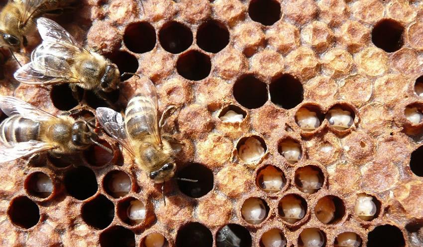 Bolesti pčela izazvane plijesnima