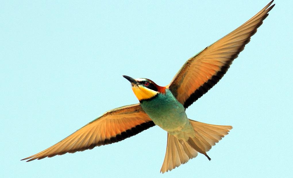 Ptice koje nanose štetu pčelama