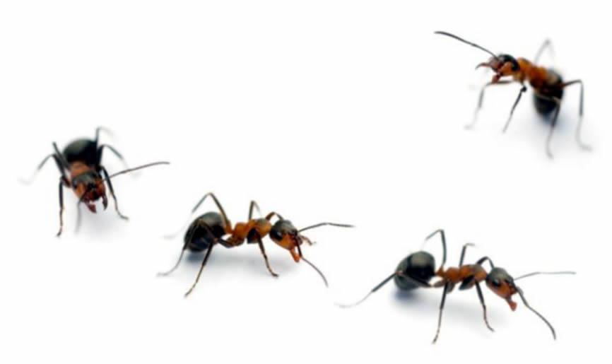 Mravi koji surađuju uvijek prate vođu