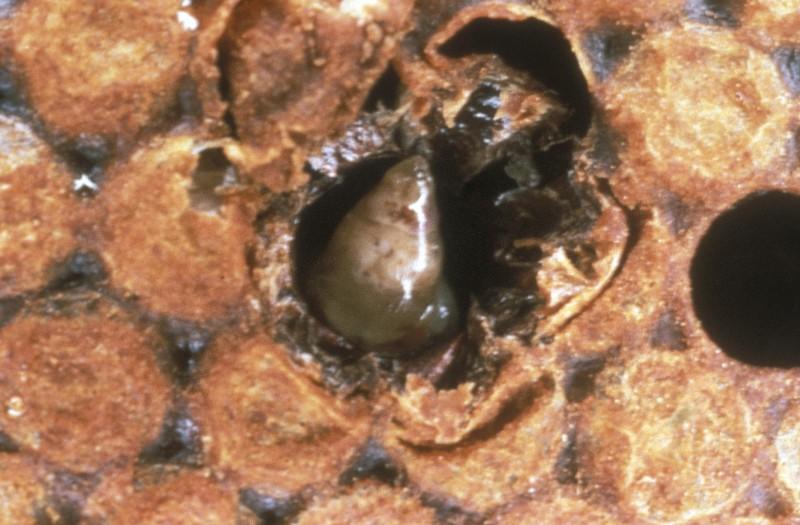Bolesti pčela izazvane virusima