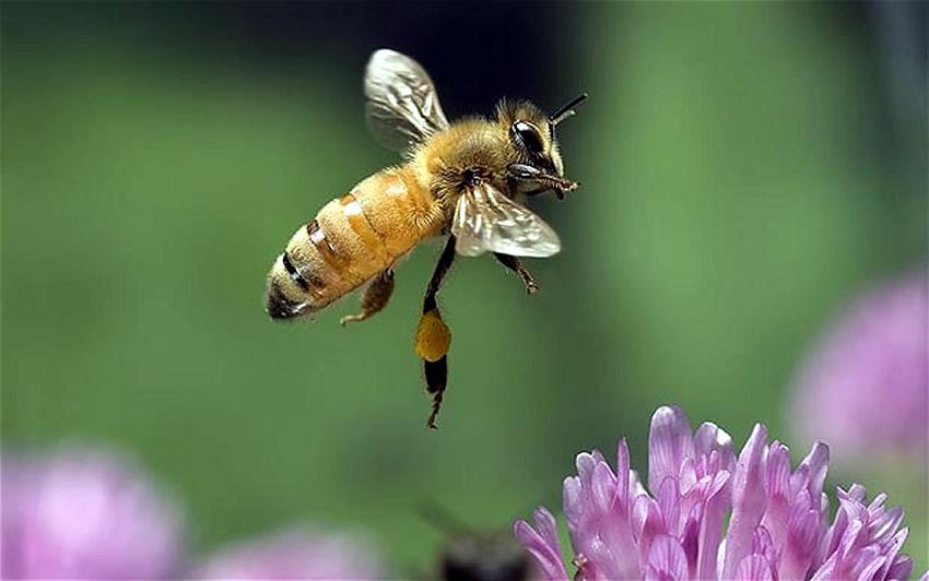 Bolesti pčela izazvane bakterijskim uticajima
