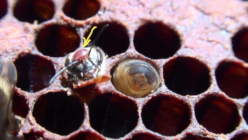 Bolesti pčela izazvane parazitima