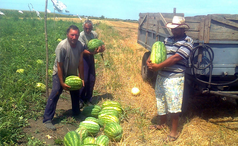 Jedan poljoprivrednik iz Zemuna živi od uzgoja lubenica