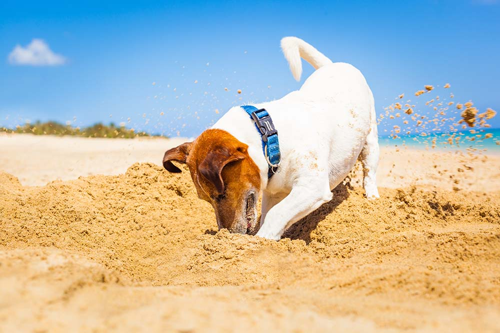 Znate li iz kog stvarno razloga psi kopaju rupe u zemlji?
