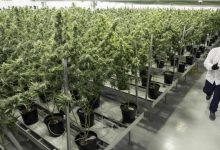 kanabis uzgajanje droga