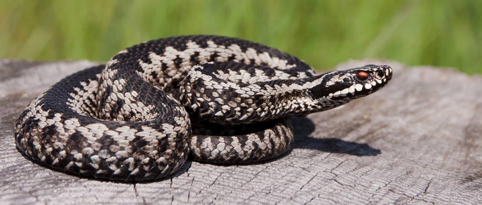 Hvatanje i odbijanje zmija: Kako se riješiti zmija iz okoline?