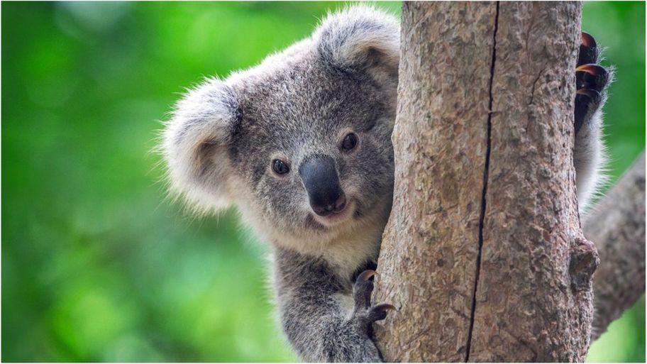 Koale stigle u Evropu, privikavaju se na život u Velikoj Britaniji
