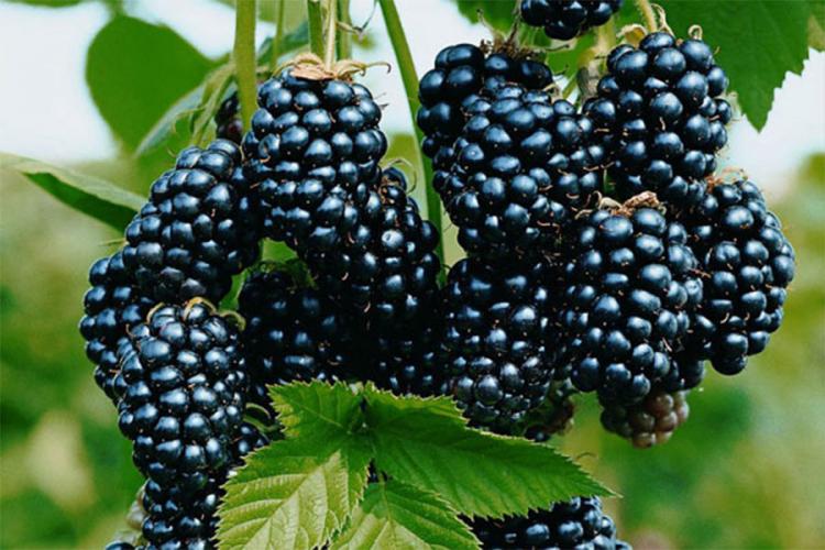 Znate li zašto su kupine (Rubus fruticosus) super voće za sve vrste uzrasta?