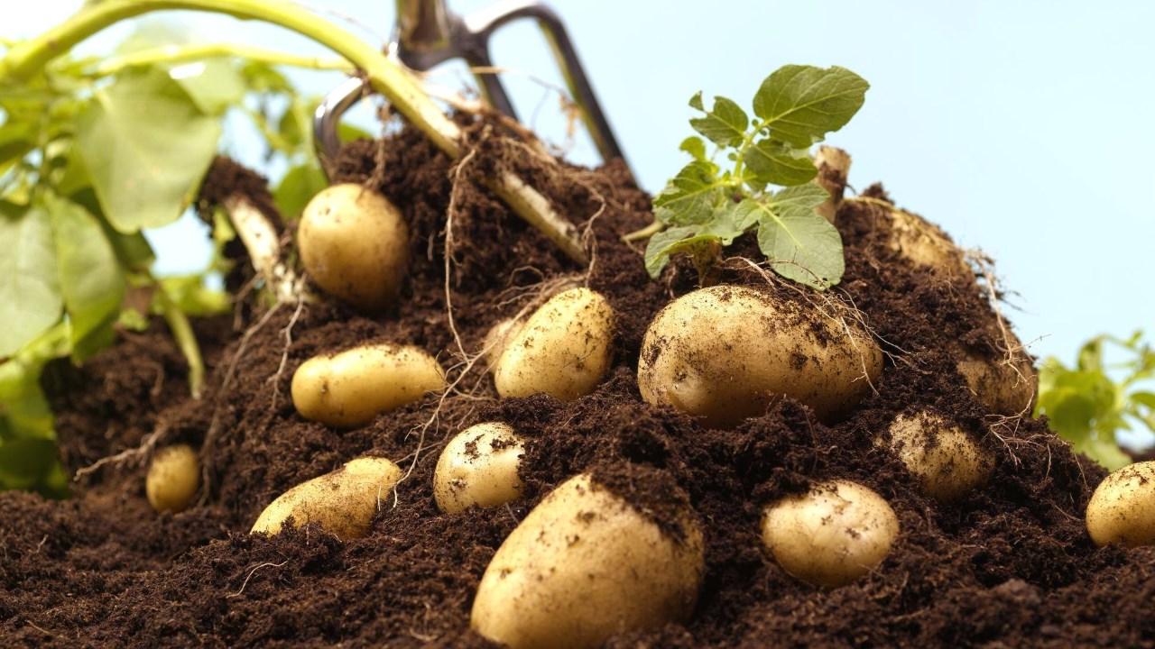 Proizvodnja krompira u plastenicima